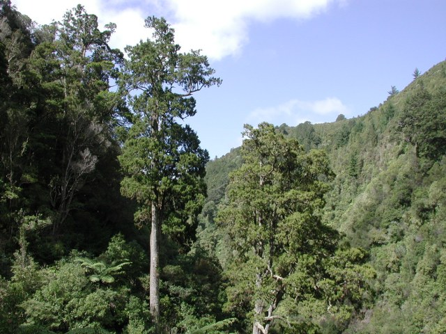 Mature rimu trees in Karapoti Gorge